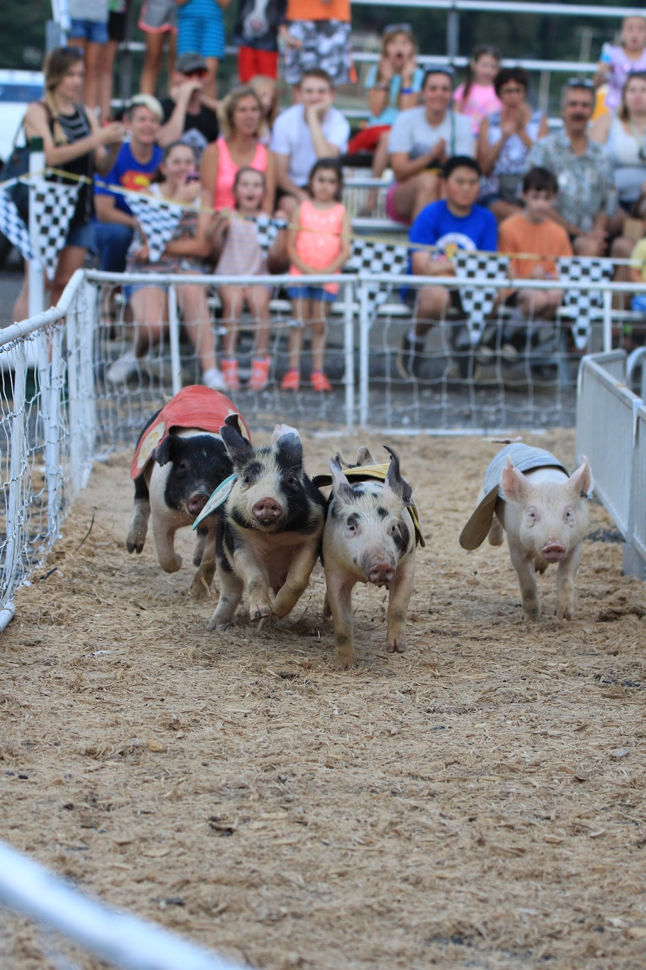 Pig Racing at the County Fair