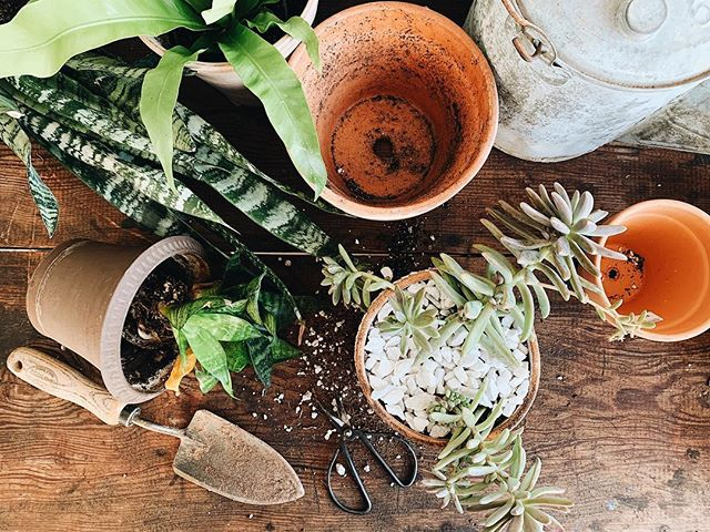 Who else loves potting and re-potting??✋🏽🌿🌵 . . . . #thatsdarling #darlingmovement #plantlady #plants #succulents #succulent #snakeplant #pursuepretty #flashesofdelight #livefolk #urbanjungle #plantladyisthenewcatlady #plantladylife #folkhome