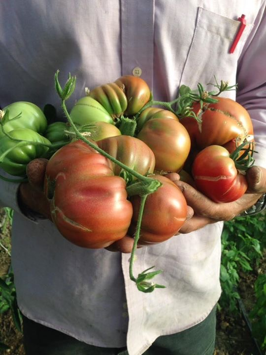 Crazy French Heirlooms! These were a trial, more will be available 2017