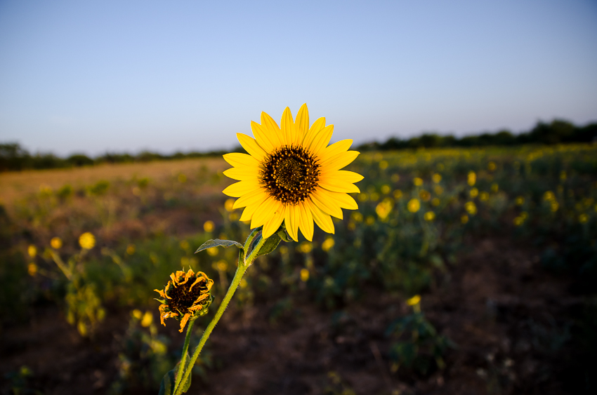 Sunflowers At the Ranch (6 of 16).jpg