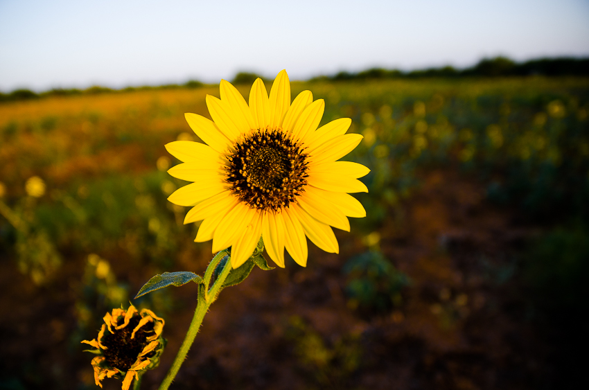 Sunflowers At the Ranch (7 of 16).jpg