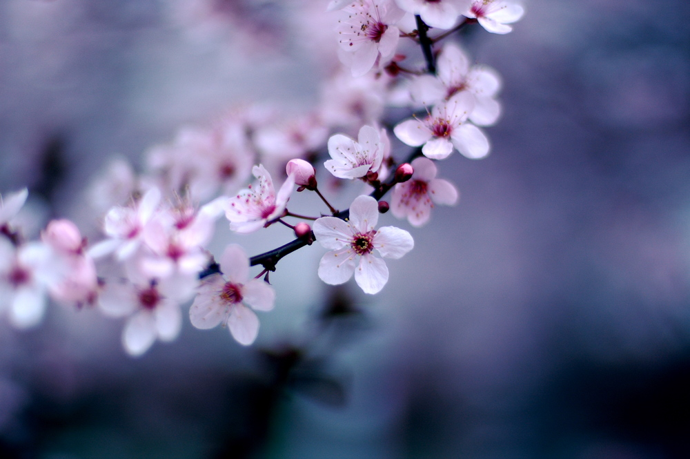 Cherry Blossoms  by  Jeff Kubina  licensed under  CC 2.0