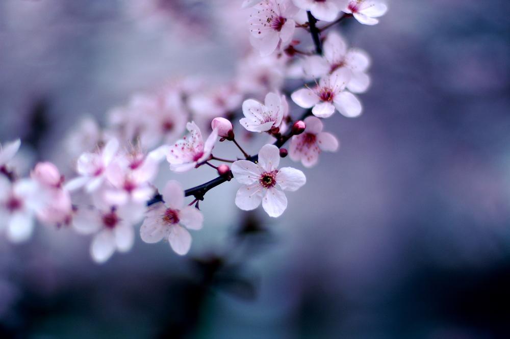Cherry Blossoms by Jeff Kubinalicensedunder CC 2.0