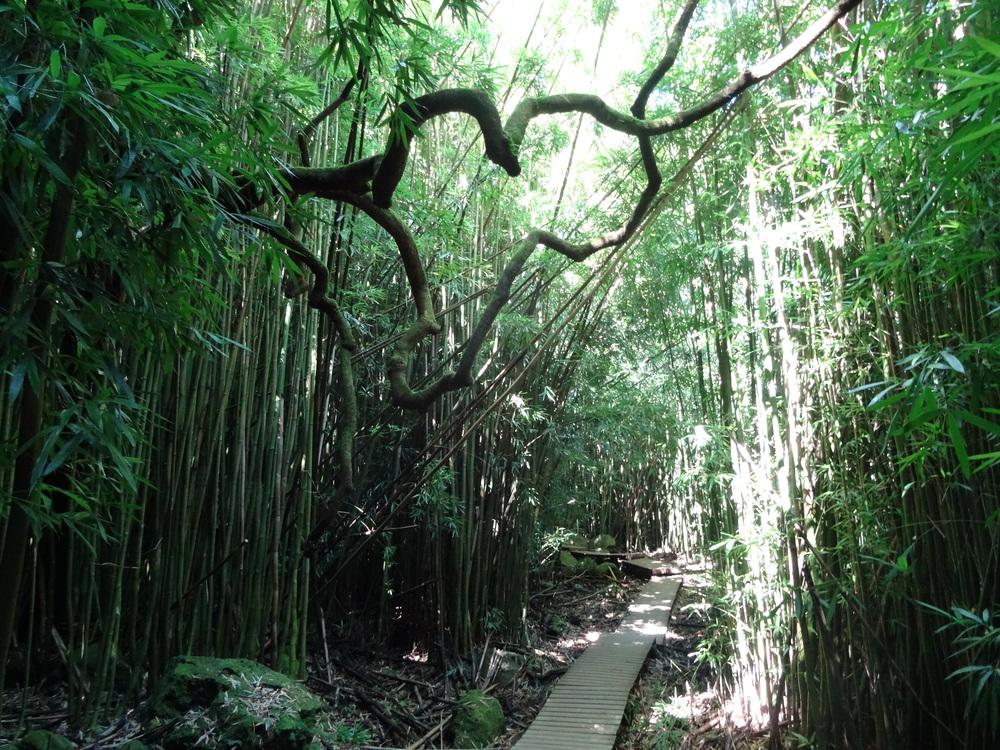 Bamboo Forest Haleakala National Park Maui