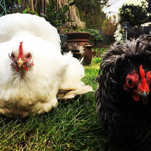 hen friends #ladybusiness #findmyeasteregg #joanandsqueak