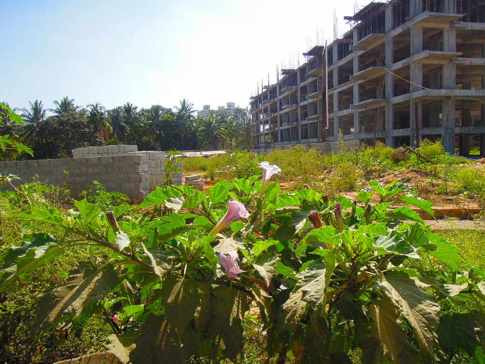 """Moonflower (Datura innoxia) at the fringes of a construction site, note it's beautiful and fragrant trumpet-like flowers"""" Photo by Daniel Phillips"""