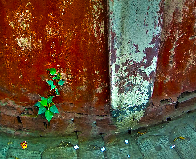Peepal Tree (Ficus religiosa) emerging from a crack in a wall along Infantry road. Photo by Daniel Phillips