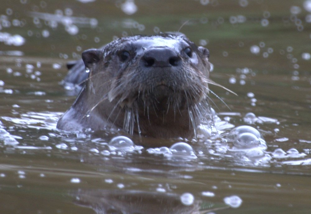 River Otter, photo by Bruce Cohn