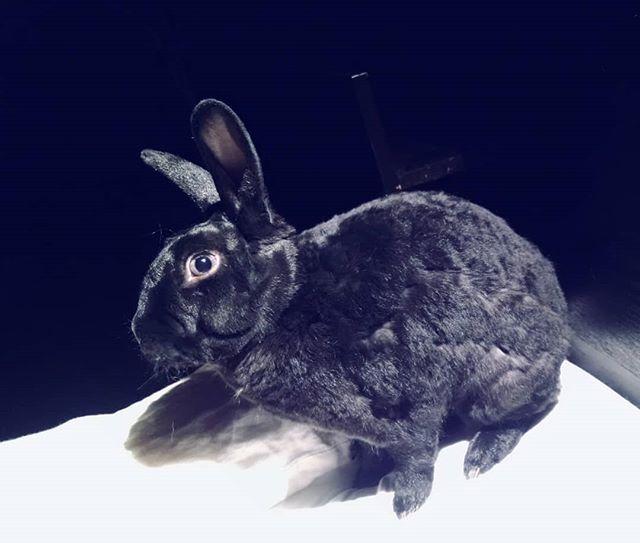 How to be all ears #minirex #curlybunny #ohspets #rabbitsofinstagram #bunniesworldwide #spoiledrottenrabbit #blueeyedbunny #blackrabbit #astrexrabbit #kaninchen #usagi #lapin #conejo #cutepets
