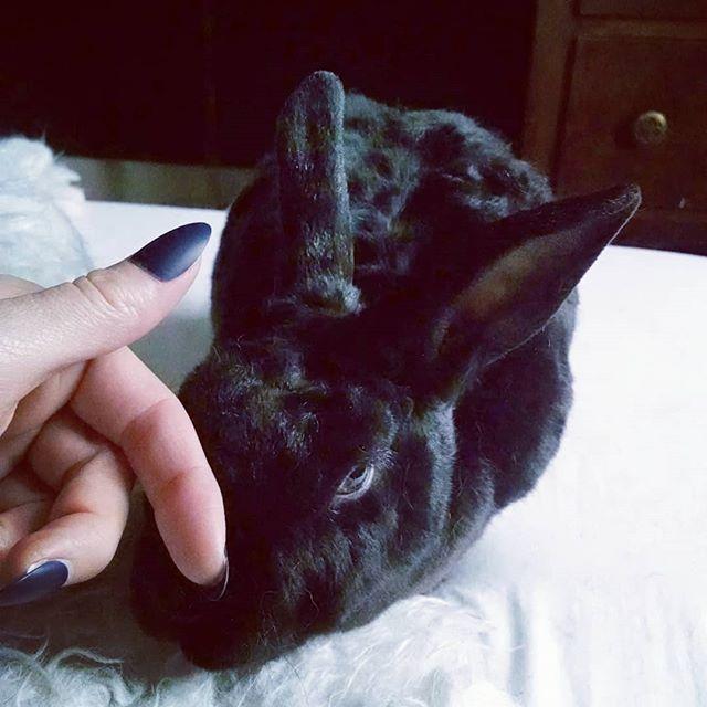 How to lean in for your morning nose rub 💕 #curlybunny #minirex #rabbitsofinstagram #bunniesworldwide #blackrabbit #ohspets #astrexrabbit #blueeyedbunny #lapin #kaninchen #usagi #conejo