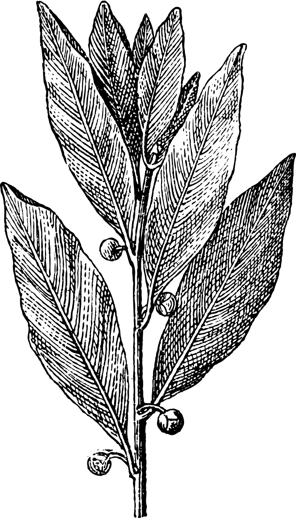Laurus nobilis engraved illustration (1895)