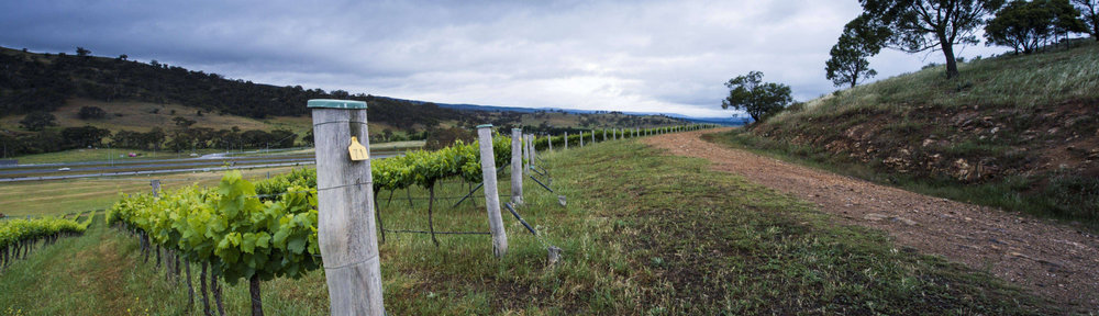 Mount Majura netted vines.jpg