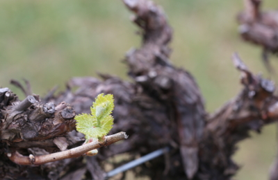 New bud open in chardonnay, our first variety to burst