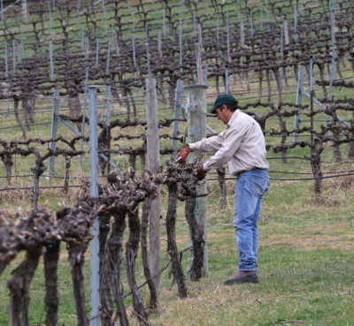 Viticulturist Leo Quirk moving wires and making final preparations for Spring growth