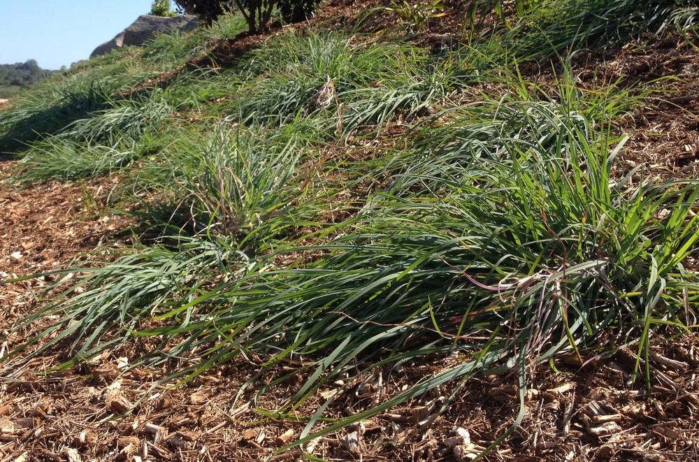 Native Kangaroo Grass