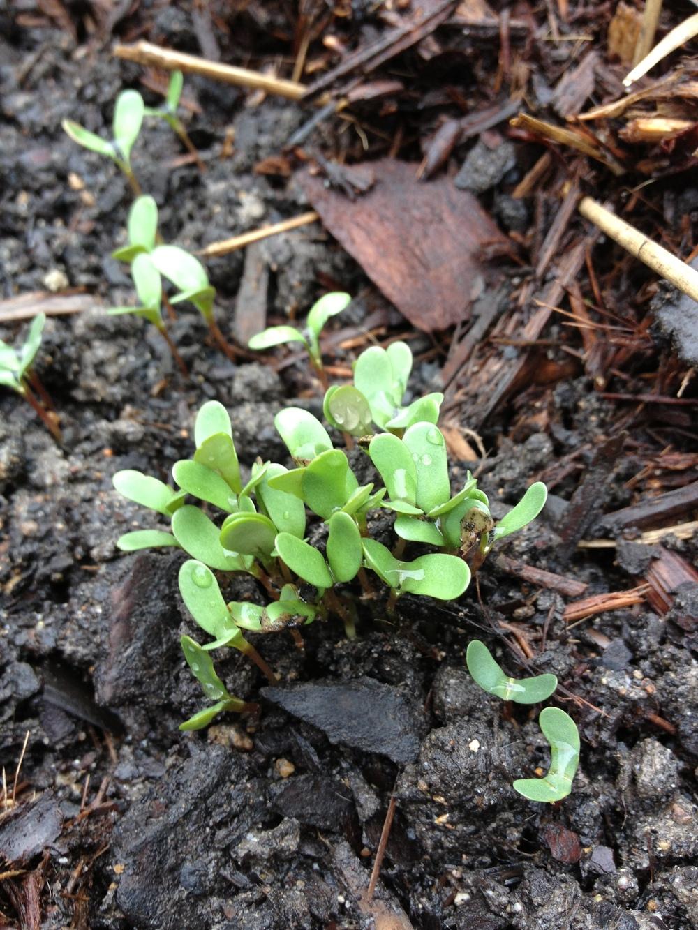 Seedlings Emerge