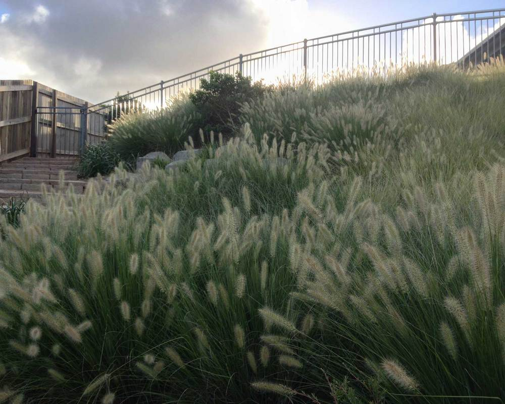 Native grasses. Pennisetum alopecuroides 'Nafray' and 'Pennstripe' from  Ecobotanics .