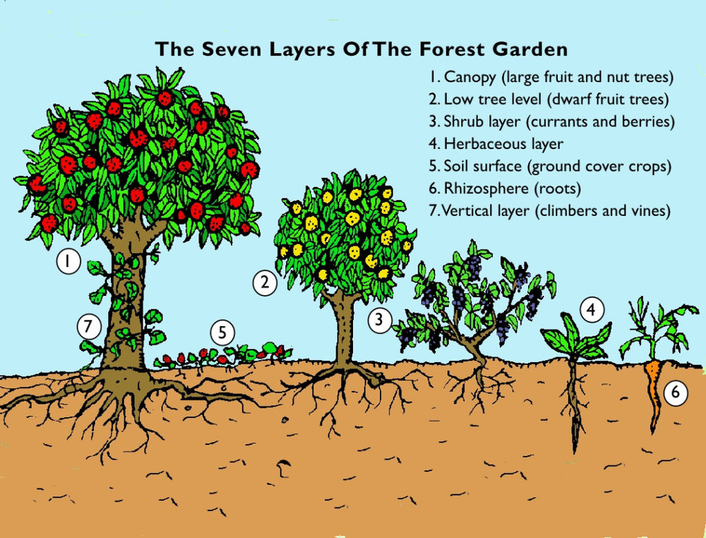 The Seven Layers Of A Food Forest Garden   Image Credit: Graham Burnett, Spiralseed Permaculture.