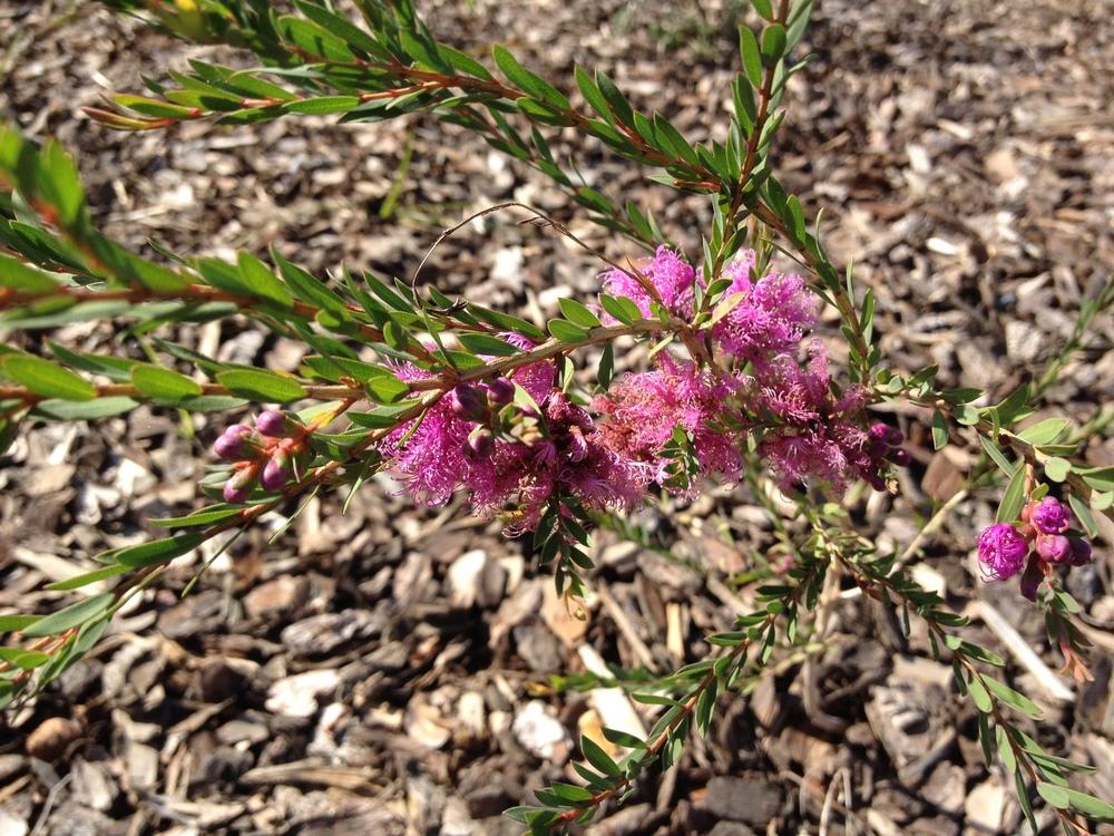Australian Native Flowering Plants