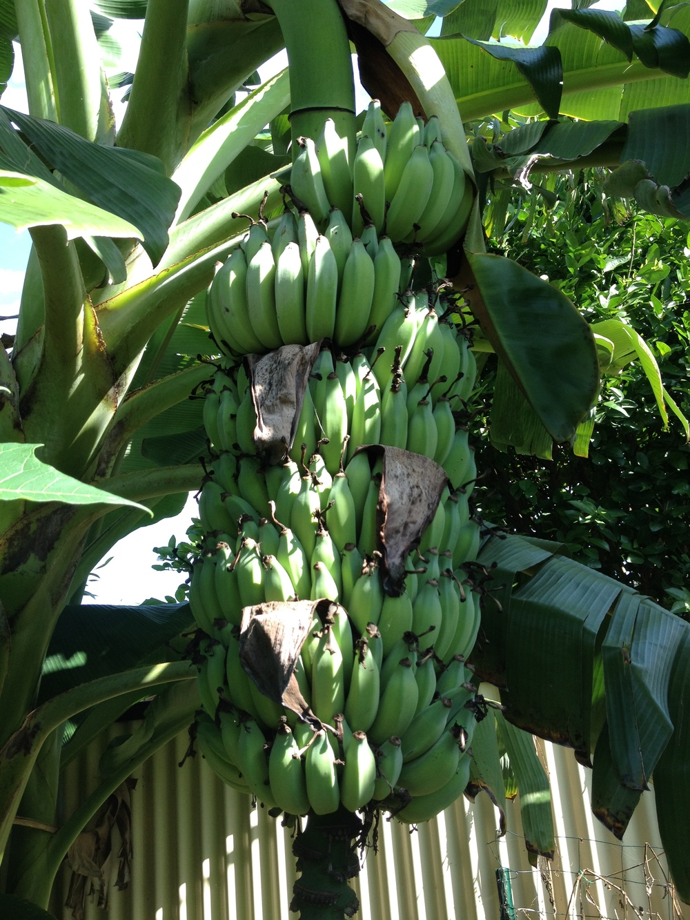 Healthy banana bunch, growing on a banana circle, close to maturity.