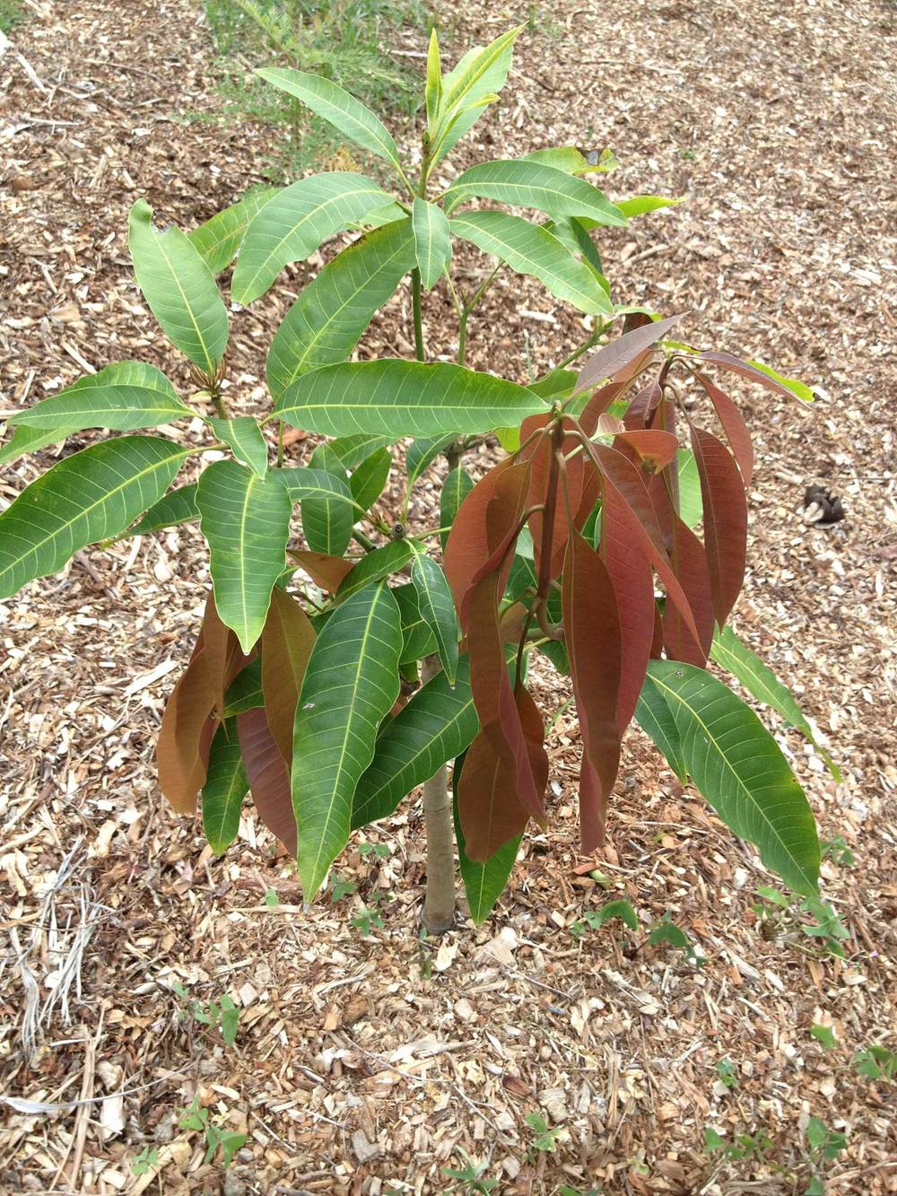 Young mango tree planted into lawn then sheet mulched.
