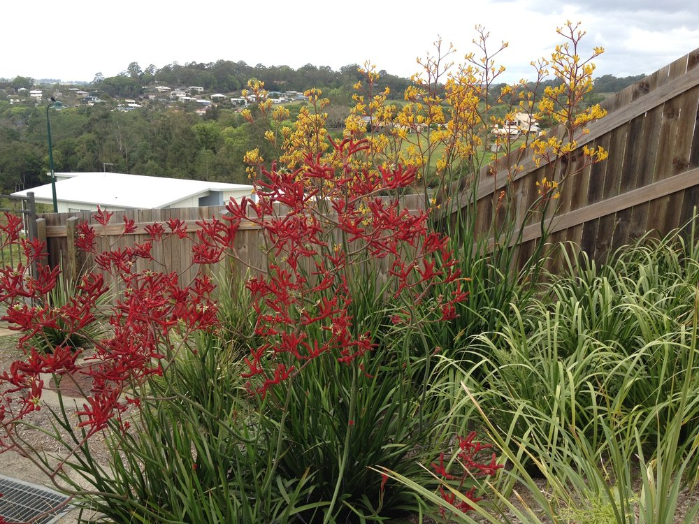 Anigozanthos 'Landscape Gold' and 'Landscape Red'.jpg