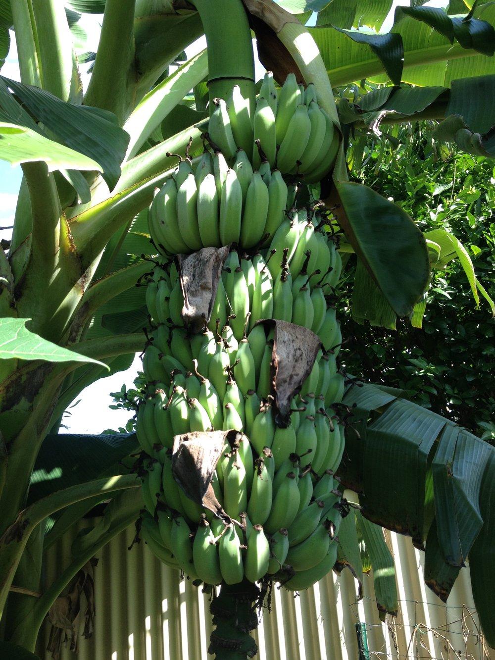 Ladyfinger bananas banana circle.JPG