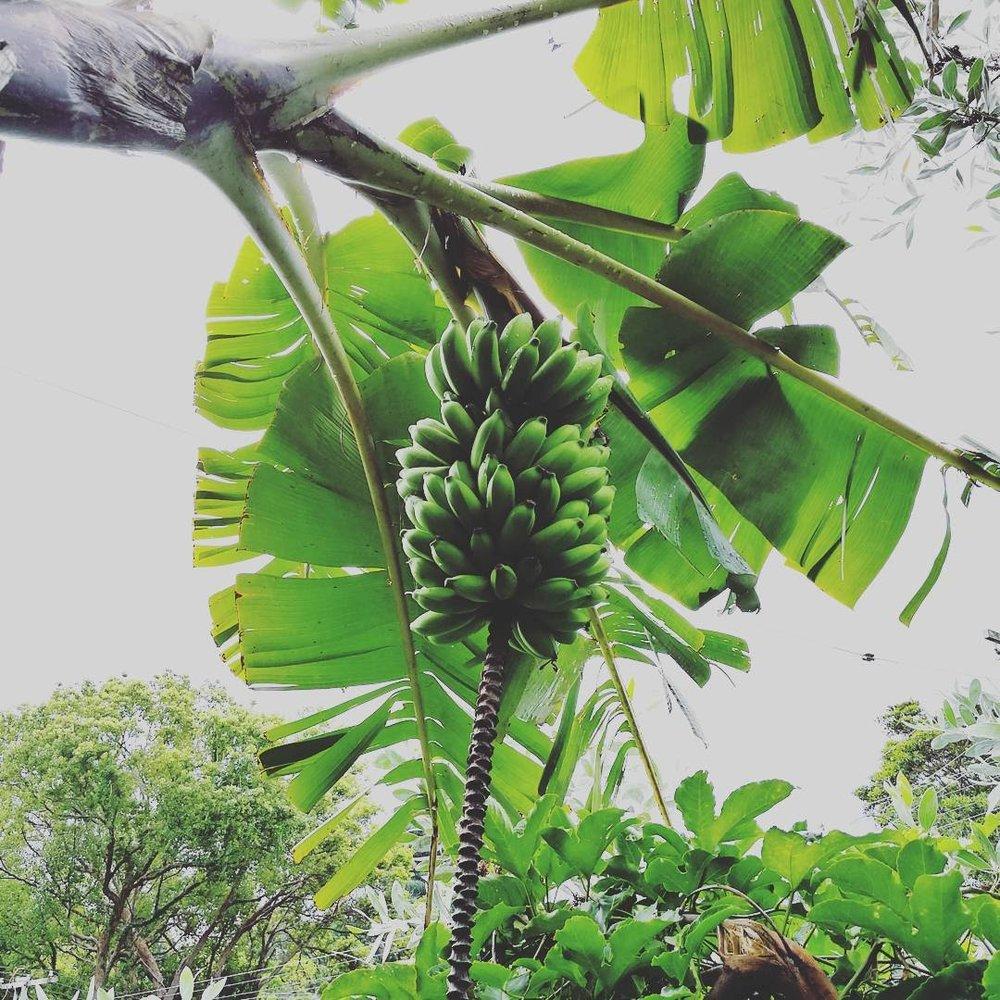 Pisang Ceylon Banana.jpg