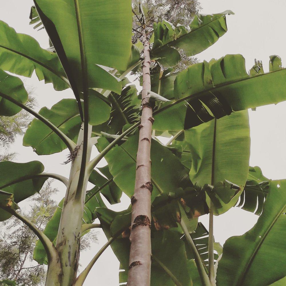 Grevillea robusta banana Syntropic Farming Agriculture Agroforestry.jpg