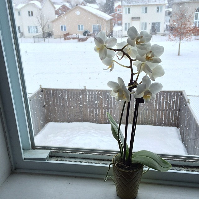 Orchid with the apocalypse outside. #flower #snow