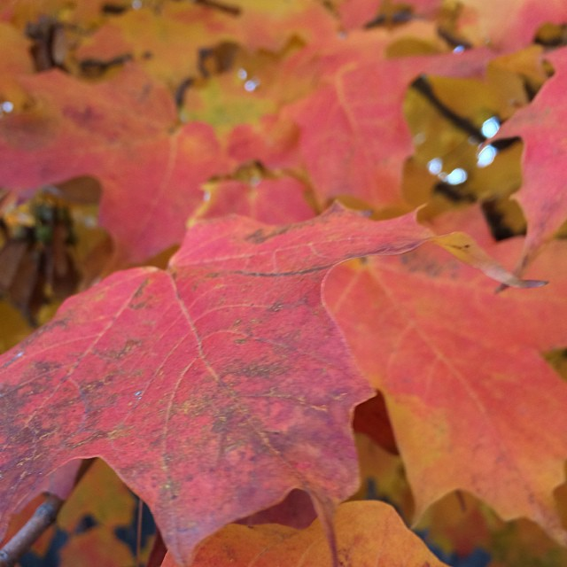 Autumn #nofilter #fall #leaves