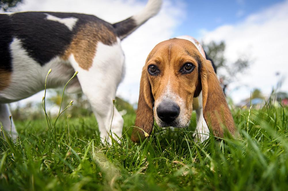 beagle-portrait-3078.jpg