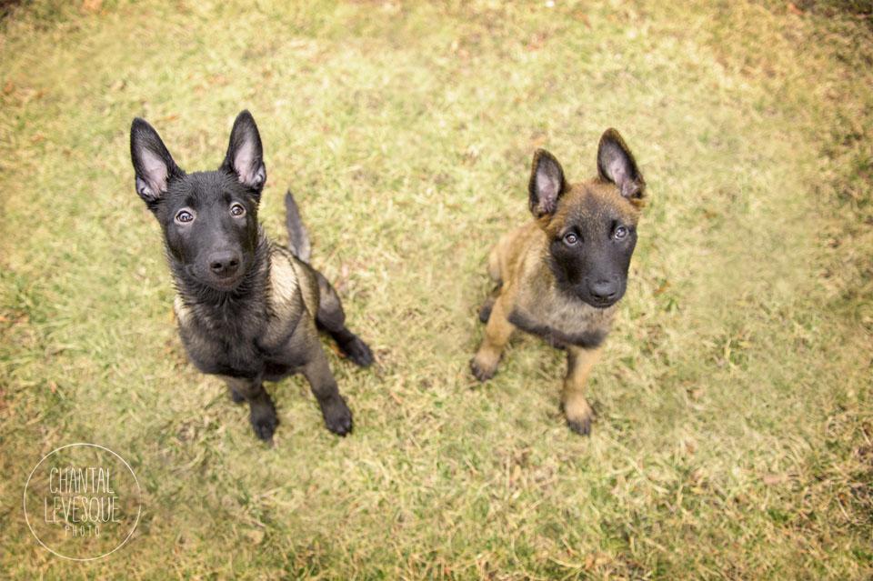 puppies-portrait-montreal