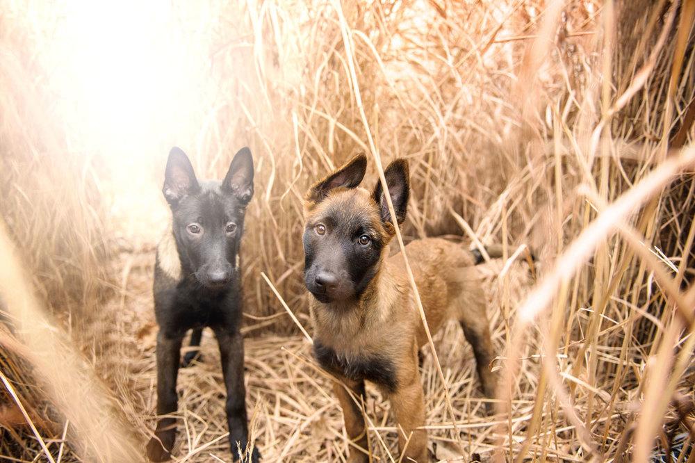 malinois-puppies-1107.jpg