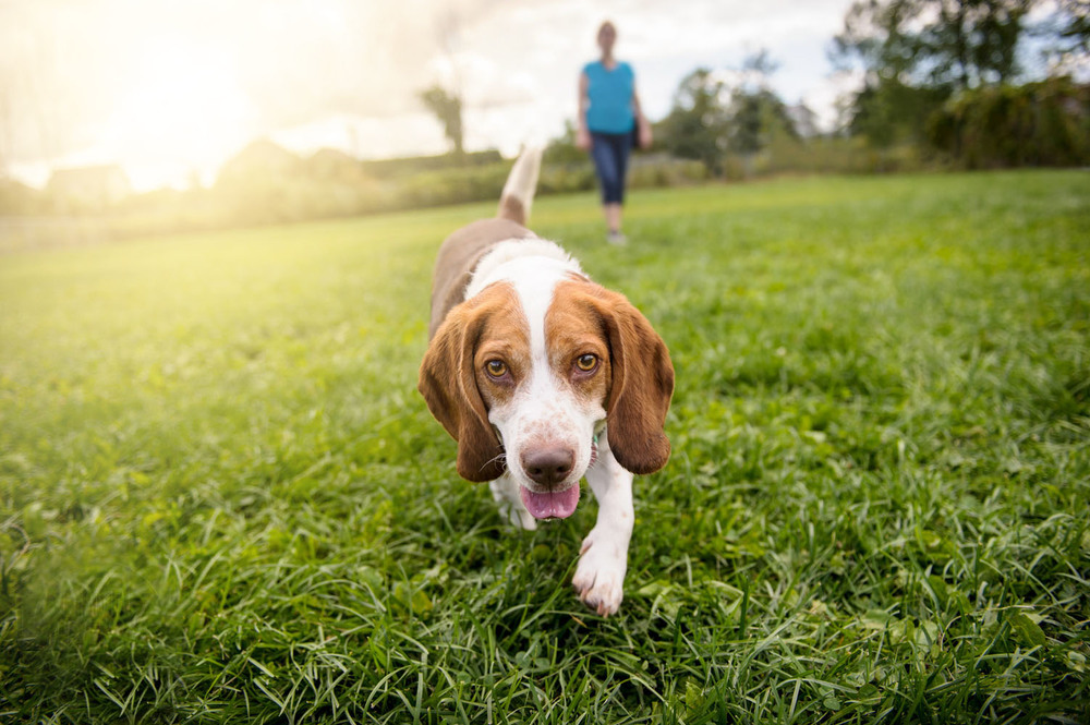 beagle-grass-2979.jpg