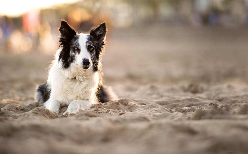border-collie-sunset-beach-0208.jpg