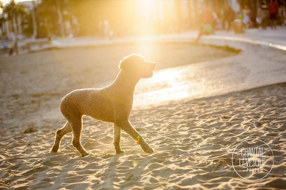 Pruna était un des chiens modèles du groupe de la première semaine de Barkelona. Quand son propriétaire nous a croisés sur la plage il nous a offert d'en faire des photos. Elle était SUPER bonne pour garder la pose! Et regardez ses magnifiques yeux!!
