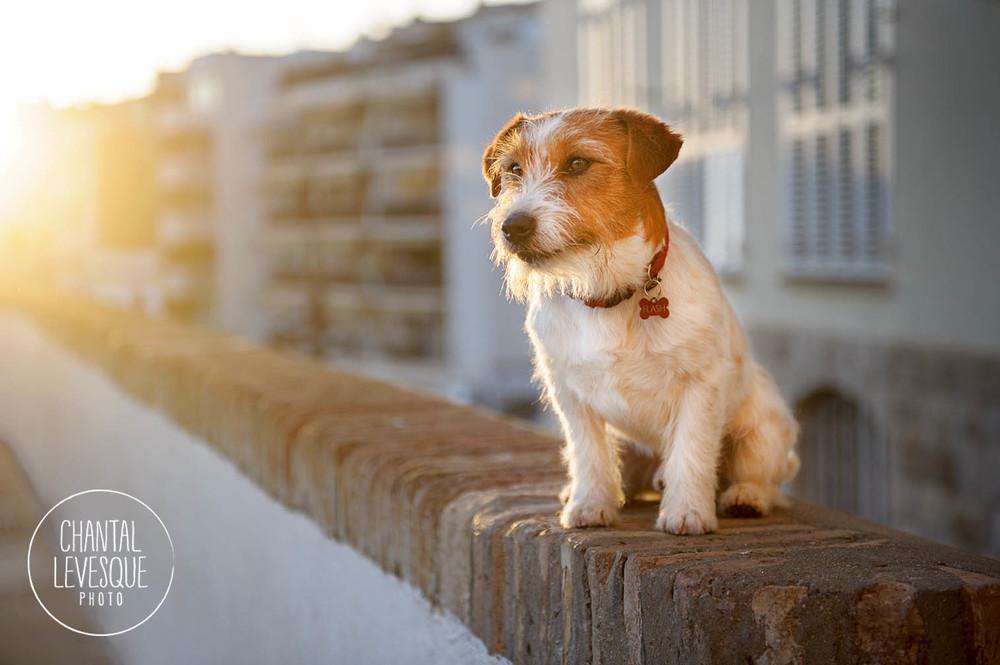Flash, Jack Russell Terrier de 5 ans. Il gardait la pose comme un champion!!