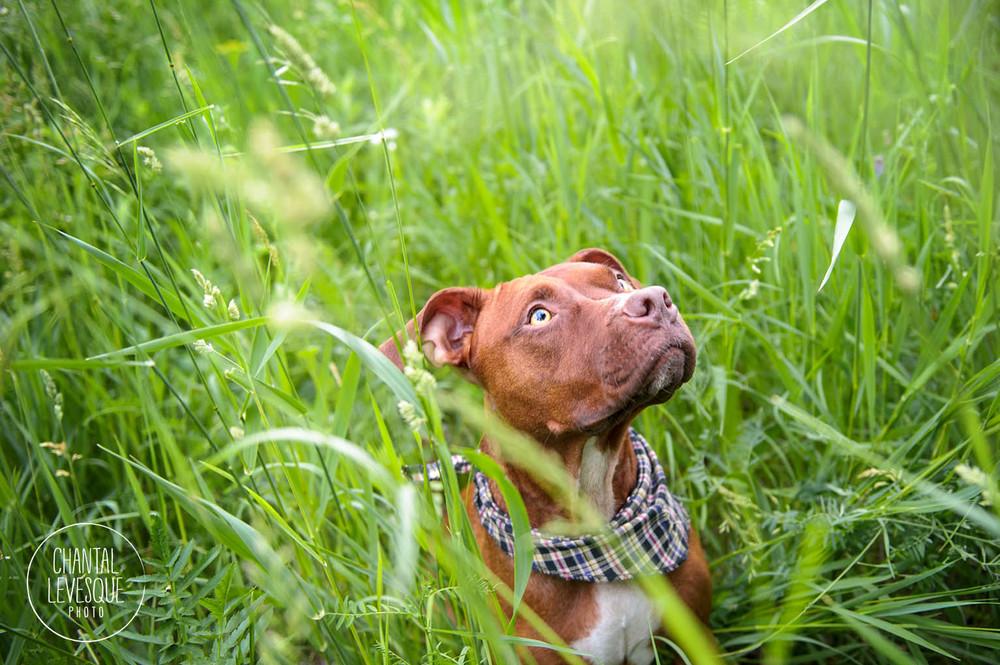 pitbull-grass