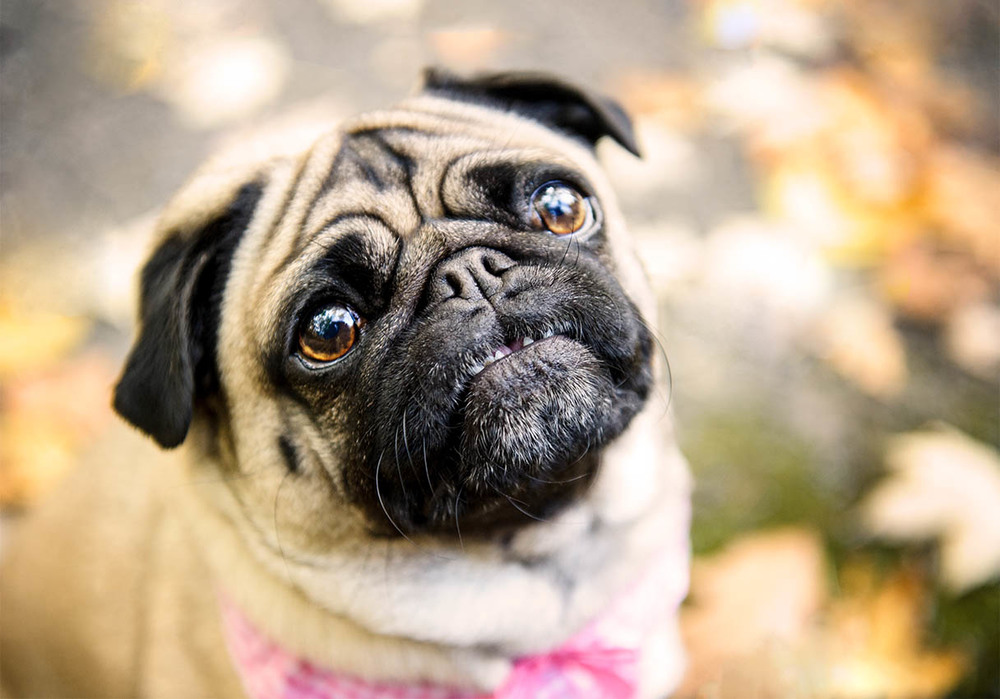 pug-portrait-fall