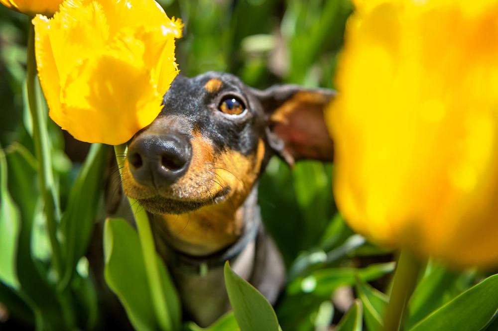 Dachshund-tulips-6853.jpg