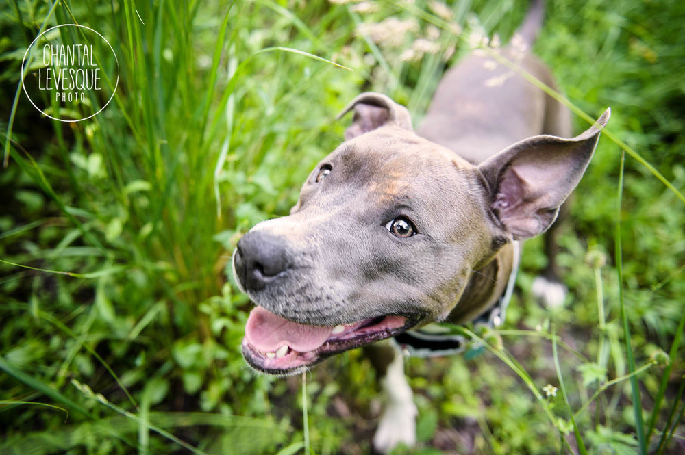 pitbull-smile
