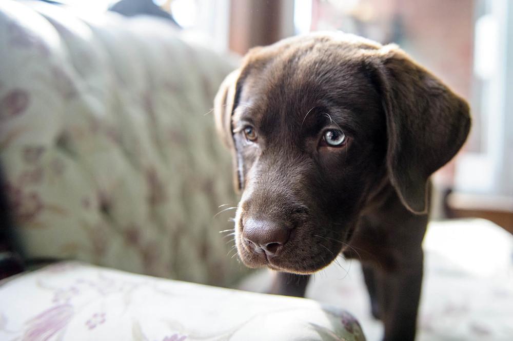 labrador-puppy-9511.jpg