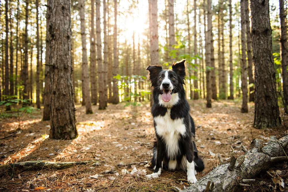 Border-collie-woods-3398.jpg