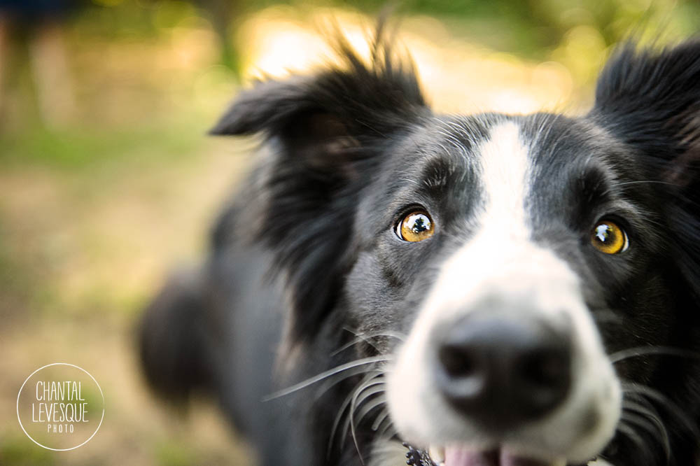 border-collie-close-up