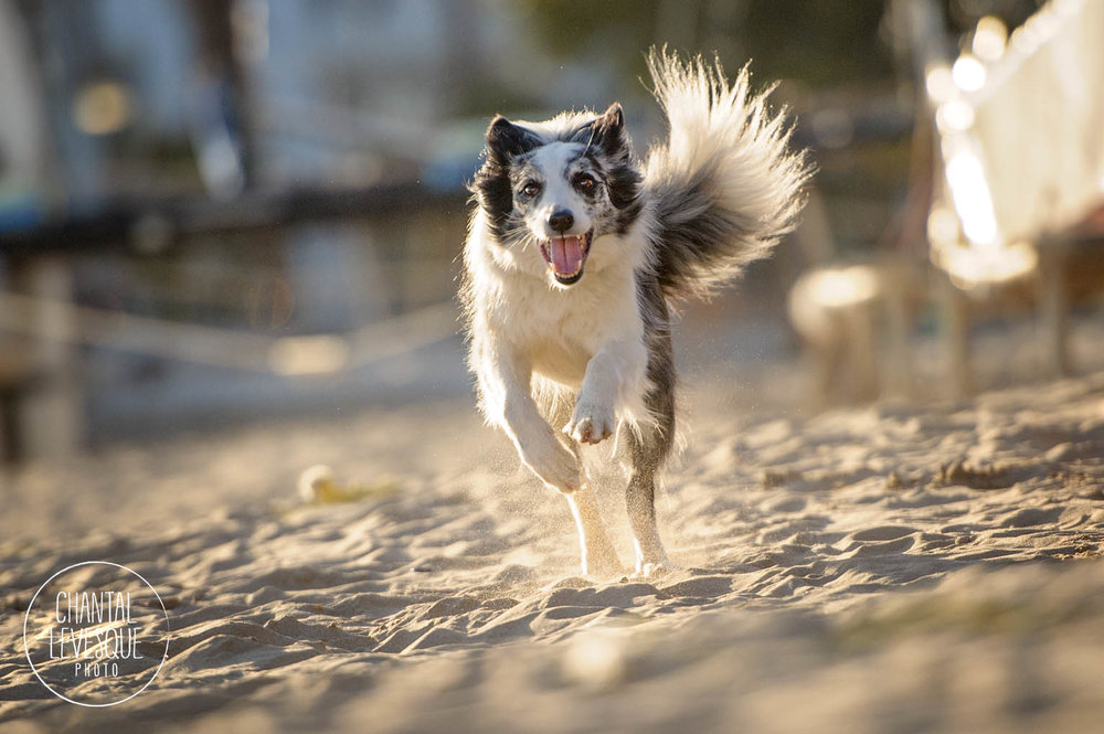 border-collie-run-beach