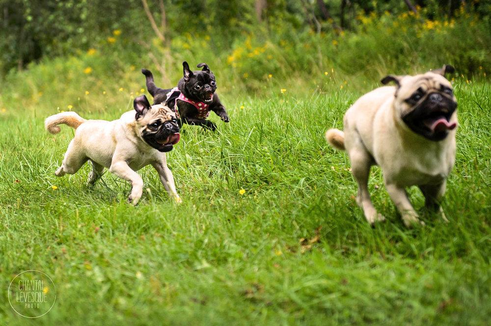 pugs-run