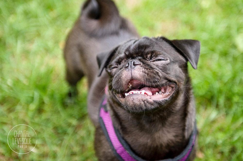 pug-smile