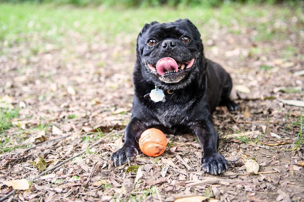 black-pug-ball