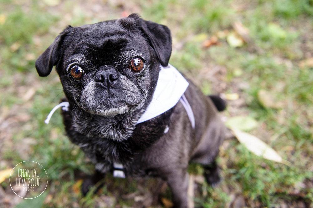 senior-black-pug